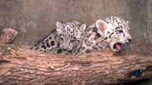 Two Snow Leopard Cubs Born at Brookfield Zoo