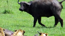watch Lion vs buffalo #20   buffalo vs lion   Lion Vs BUffalo Fight   bufallo vs lion Figh