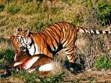 Lion Vs Tiger #9   tiger vs lion   lion vs tiger fight   tiger vs lion fight   animal fight