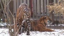 watch Lion Vs Tiger #12   tiger vs lion   lion vs tiger fight   tiger vs lion fight   animal fight