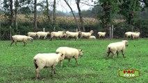 Minute PAC -Déclaration d'aides ovine et caprine