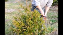 Demo on...Trimming Your Green Giant Arborvitae