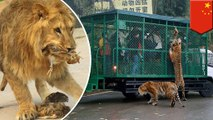 Chinese zoo sends guests out in cages to feed lions, tigers and bears