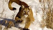 Documentário Animais Selvagens PUMA, O LEÃO DOS ANDES [Documentário Completo e Dublado NAT