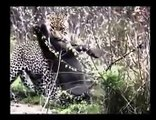 Hungry jaguar hunts Feral Wild boar   wild animal attack   fight deadly