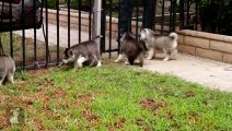 Shiloh and Shelby as Puppies! Fan Friday #6 Siberian Husky Puppy Love