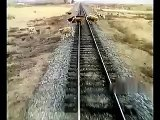 Train vs Troupeau de vaches