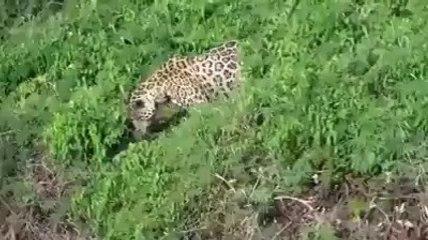 Jaguar hunting crocodile.