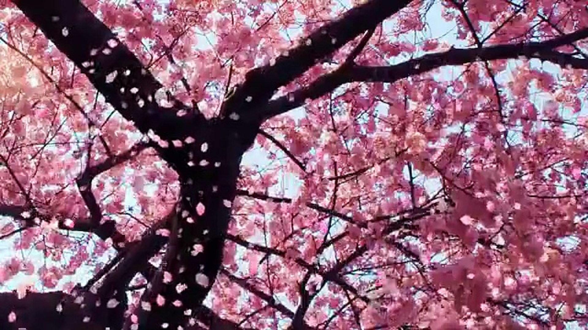 Cherry Blossom Animated Wallpaper Video Dailymotion