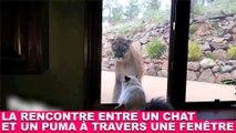 La rencontre entre un chat et un puma à travers une fenêtre ! Tout de suite dans la minute chat #104