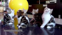 Funny Cat Funny Cats Videos 2015 Funny Animals Funny Cats Compilation Cute Pets