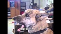 The talking dog is it?! Bad owners mess to eat, the Han. stay Dog, Dog, Chinese subtitles.