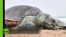 Hallaron más de 100 tortugas muertas a la orilla de una playa en India