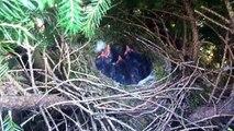 Little chicks of Black Birds in their nest