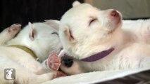 Hottest Husky Puppy Falling asleep videos