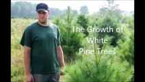 About....White Pine Tree Growth