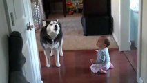 Симпатяга хаски разговаривает с ребенком