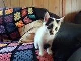 Quand un chien très patient et un chat coquin se croisent