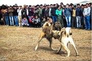 İran'da Tepki Çeken 'Köpek Dövüşü'