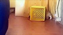 Un chien Corgi joue au chat et à la souris... Tout seul!