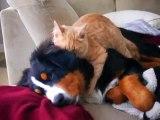 Cat demonstrates expertise as dog masseuse