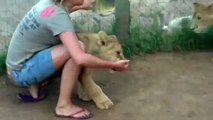 Young Lady Is Getting Mauled By Two Young Lions