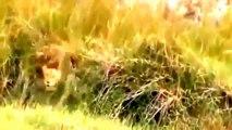 LEONES (ANIMALES SALVAJES) LA CIÉNAGA EN ÁFRICA | Documentales completo en español