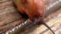 Dünyanın En Keskin Bıçağı Üzerinden Sümüklü Böcek Geçerse