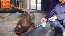 Les singes ont de l'humour !