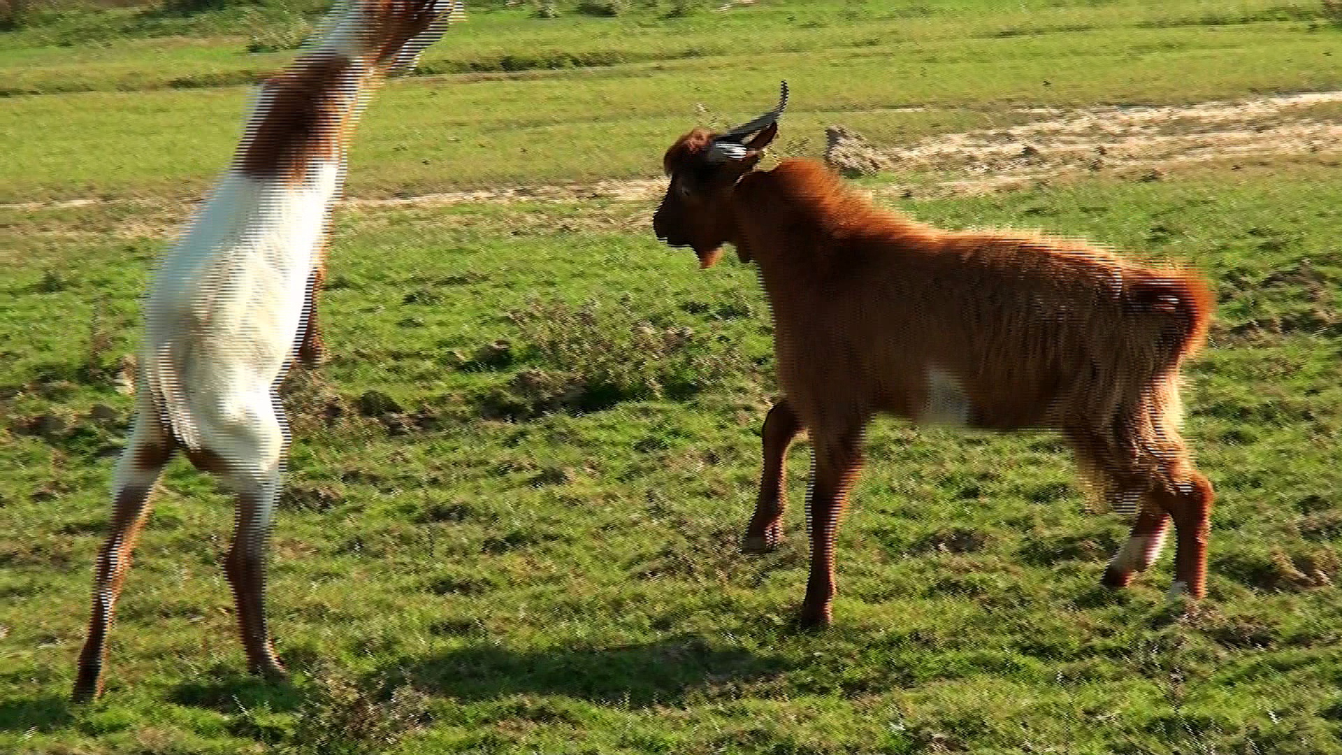 Funny Goats Fighting