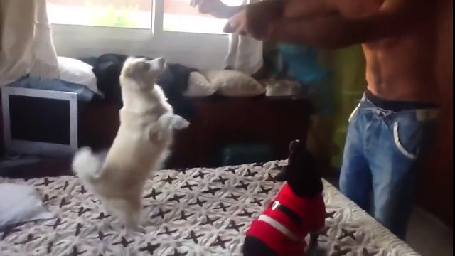 Two funny dogs dancing on the bed. Very cute  )