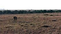 Kenya sept 09 - Masaï Mara - Male lion hunting