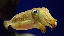 A weird sea creature - Siphonophorae - video dailymotion