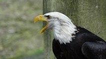 Bird Life Documentary: The American Eagle Documentary (Bird Documentary Full Length)