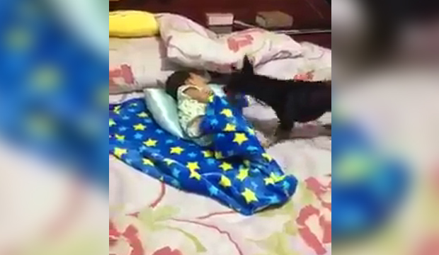 A dog covers a baby in bed