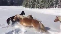 On a libéré ces chevaux dans la neige - ne quittez surtout pas des yeux celui qui est tout à droite.