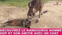 Découvrez le kangourou nommé Hop et son amitié avec un chat ! Tout de suite dans la minute chat #114
