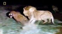 Animal Documentary National Geographic APEX PREDATORS: Lion, Tiger, Cheetah, Hyena & More!