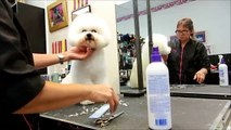 Scissoring the Bichon Frise with Tampa's Best Pet Groomer