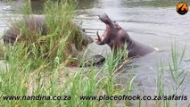 Hippos Fighting for Dominance - 21 November 2012 - Latest Sightings