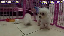 Bichon Frise Puppies For Sale - video dailymotion