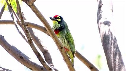 Coppersmith Bird- Coppersmith Bird Facts