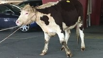 Cow runs for freedom from meat market on streets of New York