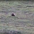 Un grizzli fan de roulades