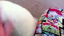 Bubba the Bichon Frise Puppy: Vicious Killer!