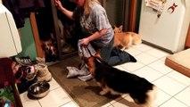 Des chiens font la queue pour se faire essuyer les pattes