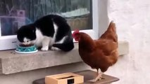 Cat beat roaster while  he  steals  cat's  food