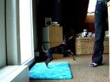 english toy terrier clickertraining 31.05.09 lynn