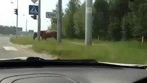 Russian Drivers - Pedestrian Horse Follows the Rules