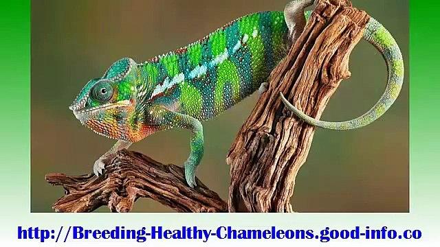 Baby Panther Chameleon, Adult Veiled Chameleon, Chameleon Care Guide, Veiled Chameleon Food